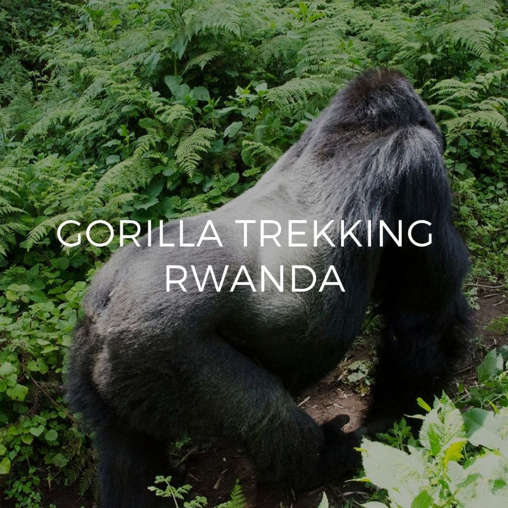 Silverback gorilla walking away - Image guide to Gorilla Trekking Guide