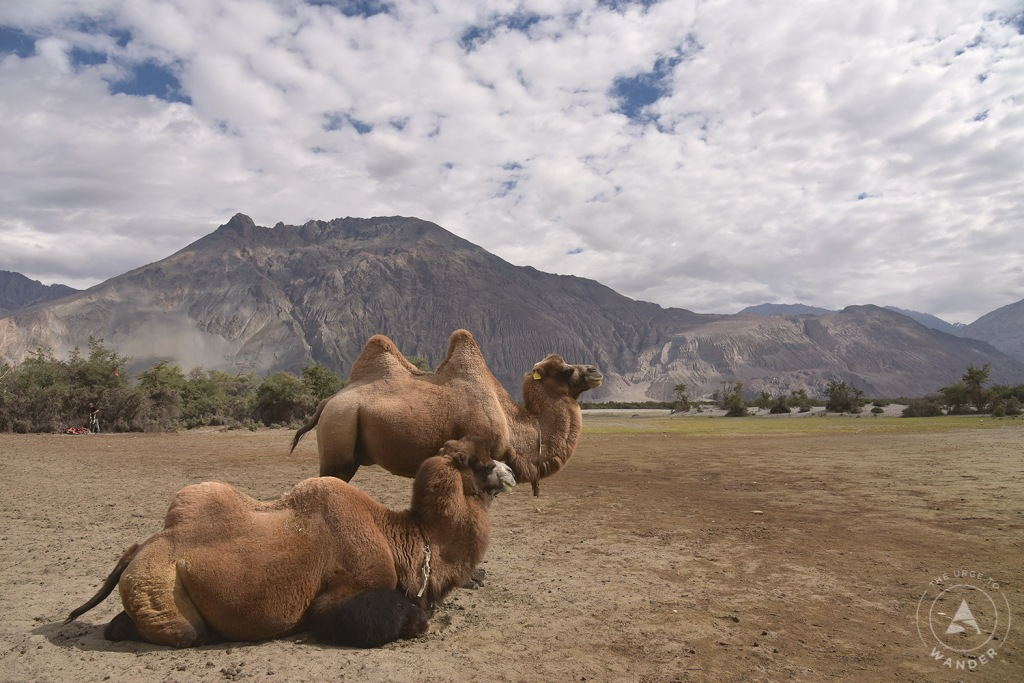 A pair of Bactrian camels in Nubra Valley, Ladakh