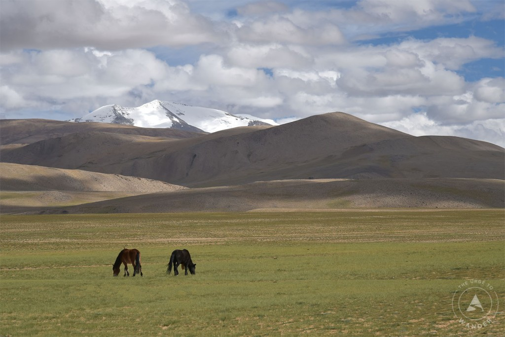A pair of black wild horses grazing in the scenic Changthang landscape