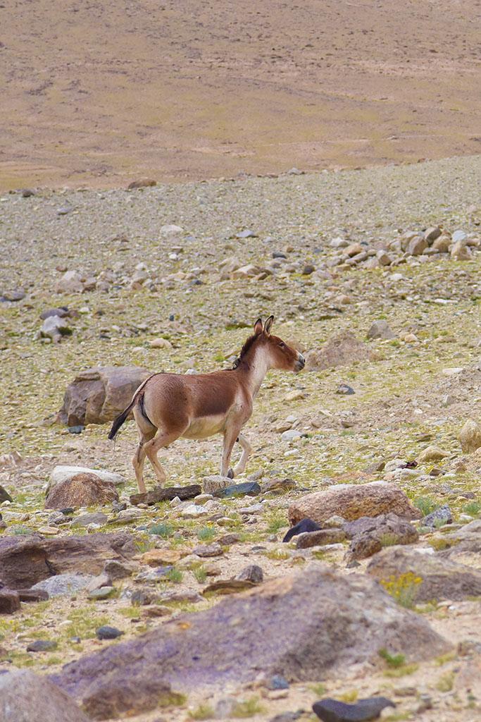 A handsome Tibetan kiang (wild ass).